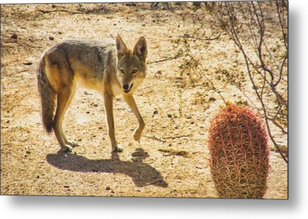 Young Coyote And Cactus Metal Print