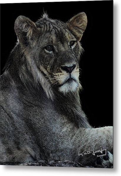 Young Lion Metal Print by Keith Lovejoy