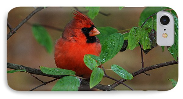 Northern Cardinal IPhone Case by Perry Van Munster