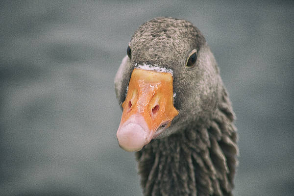 Canadian Fauna Photograph - Beaky by Martin Newman