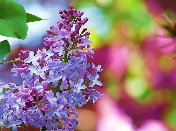 Lilacs 2012 Art Print
