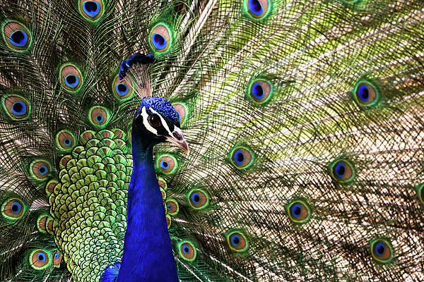 Photograph - Peacock by Stefan Nielsen