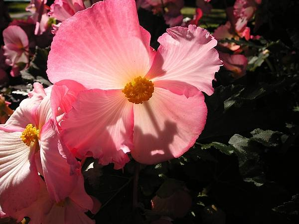 Wall Art - Photograph - Pretty In Pink Petals And Sunlight by Eve Paludan