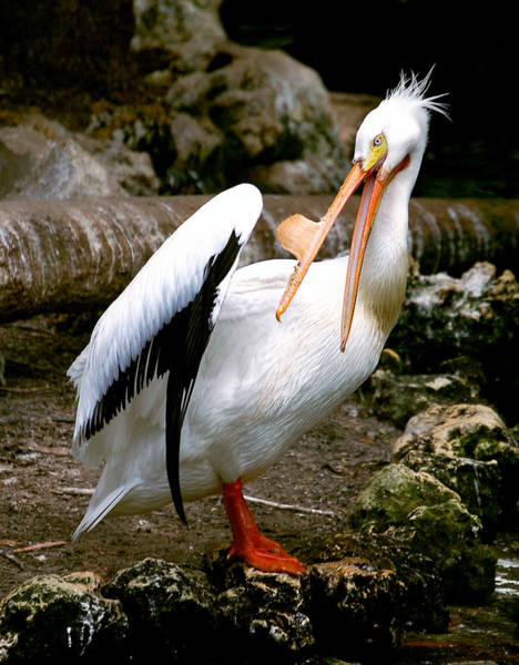 Photograph - White Pelican by Donna Proctor
