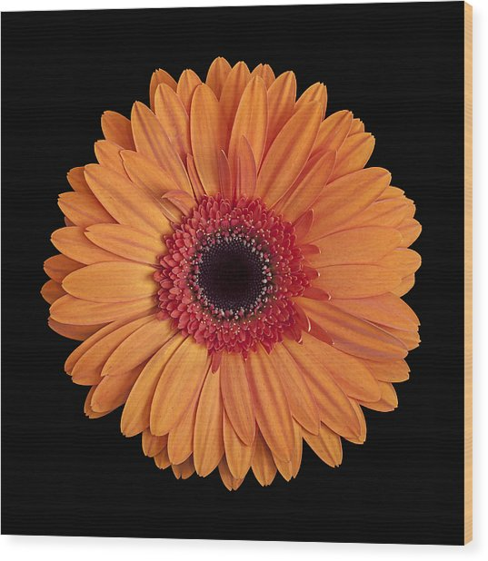 Orange Gerbera Daisy On Black Wood Print