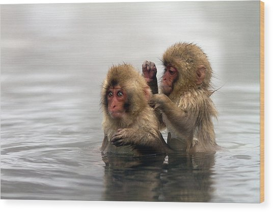 Baby Japanese Macaques snow Monkeys Wood Print