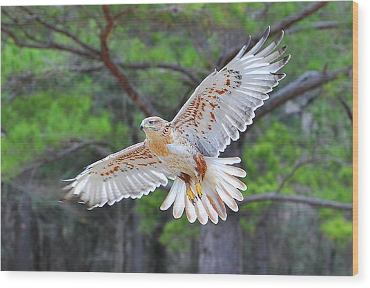 Ferriginious Hawk In Flight Wood Print