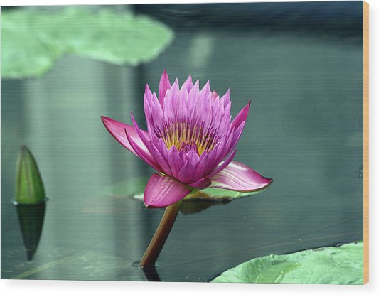 Hot Pink Water Lily Wood Print