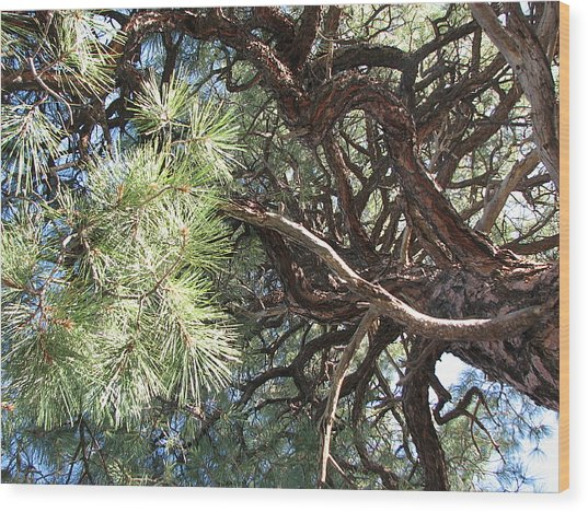 Pine-ally Looking Up Wood Print