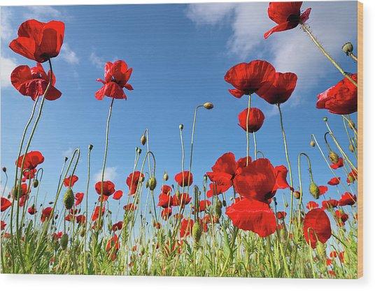 Poppies Season Wood Print