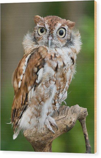 Screech Owl Wood Print