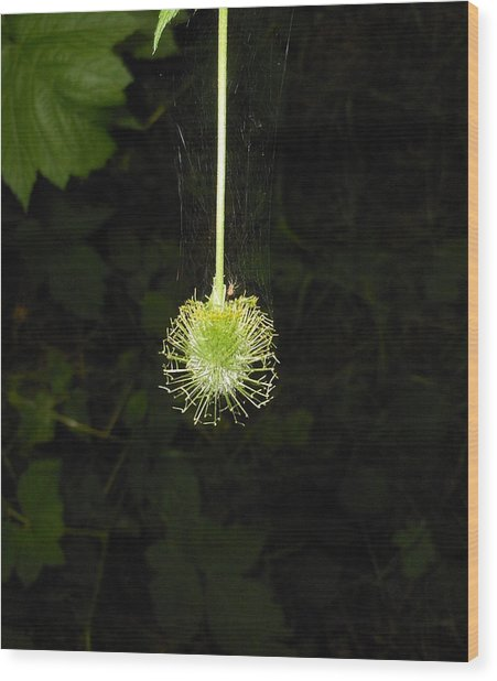 Web Weaver Wood Print by Ken Day