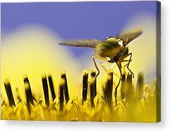 Bee Acrylic Prints