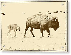 Bison Mother And Calf Acrylic Print by Melany Sarafis