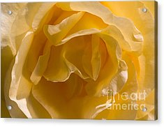 Yellow Rose Ruffles Acrylic Print