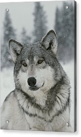 A Portrait Of A Beautiful Gray Wolf Acrylic Print by Jim And Jamie Dutcher