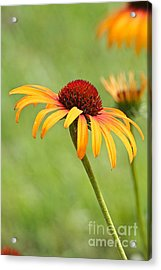 Acrylic Print featuring the photograph Coneflower by Eve Spring