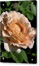 Acrylic Print featuring the photograph Orange Rose by Joy Watson