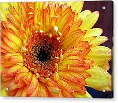 Yellow Gerber Acrylic Print