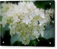 Acrylic Print featuring the photograph Hydrangea by France Laliberte