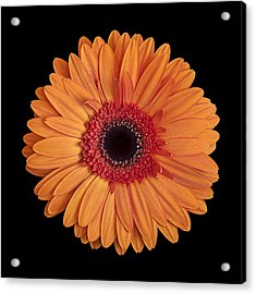 Orange Gerbera Daisy On Black Acrylic Print