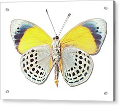 Underside Of Brush-footed Butterfly Of Peru Acrylic Print by MajchrzakMorel