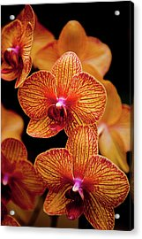 Deep Cut Orchid Society 15th Annual Orchid Show Acrylic Print by Dan Pfeffer