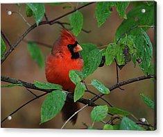 Northern Cardinal Acrylic Print by Perry Van Munster