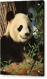 A Close View Of A Panda Acrylic Print by Taylor S. Kennedy