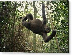 A Gorilla Swinging From A Vine Acrylic Print by Michael Nichols