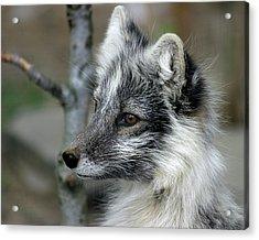 Arctic Fox In Spring Acrylic Print