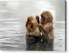 Baby Japanese Macaques snow Monkeys Acrylic Print by Oscar Tarneberg