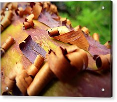 Barking Up The Madrone Tree Acrylic Print by Cindy Wright