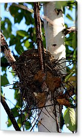 Bird Nest In Birch Tree Acrylic Print by Marjorie Imbeau