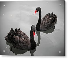 Black Swan Acrylic Print by Bert Kaufmann Photography