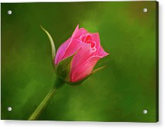 Blooming Pink Rose Acrylic Print