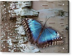 Blue Morpho Butterfly On White Birch Bark Acrylic Print by Patti Deters