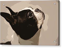 Boston Terrier Acrylic Print by Donna G Smith