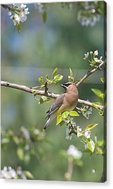 Acrylic Print featuring the photograph Cedar Waxwing by Margaret Palmer