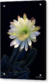 Cereus Peruvianus Acrylic Print