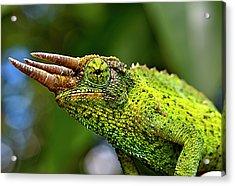 Chameleon Acrylic Print by Bill Adams - MomentsNow.com