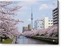 Cherry Blossom Trees Along River, Tokyo. Acrylic Print by I.Hirama