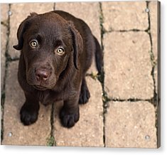 Chocolate Lab Puppy Looking Up Acrylic Print by Jody Trappe Photography