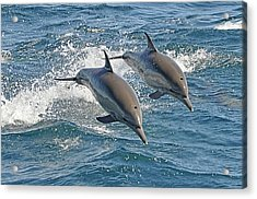 Common Dolphins Leaping Acrylic Print by Tim Melling
