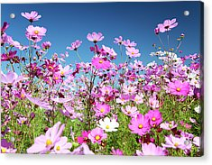 Cosmos Flowers Acrylic Print by Neil Overy
