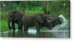 Elephant Shower Acrylic Print