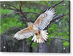 Ferriginious Hawk In Flight Acrylic Print