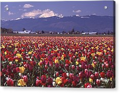 Field Of Tulips And Mount Baker Acrylic Print