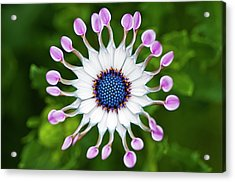 Flower Acrylic Print by Simon Anderson