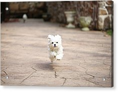 Flying Dog Acrylic Print by moments caught Photography